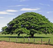 L'Arbre Guanacaste : Emblème national du Costa Rica