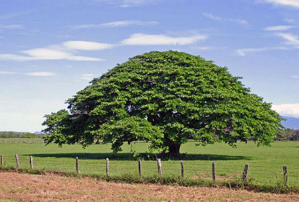 L'arbre guanacaste