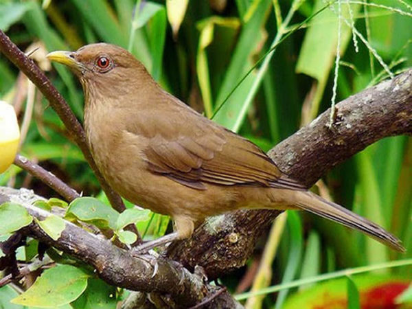 L'oiseau Yigüïrro, emblème du Costa Rica