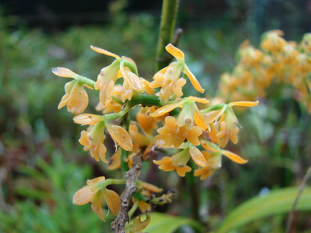 Epidendrum du Jandin Botanique Lankester