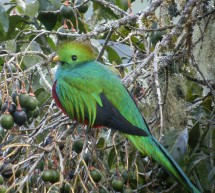 L'oiseau Quetzal Resplendissant du Costa Rica