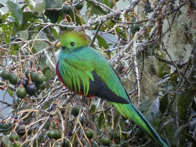 Quetzal Resplendissant du Costa Rica