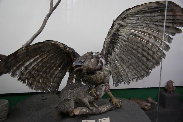Aigle harpie Musée National du Costa Rica