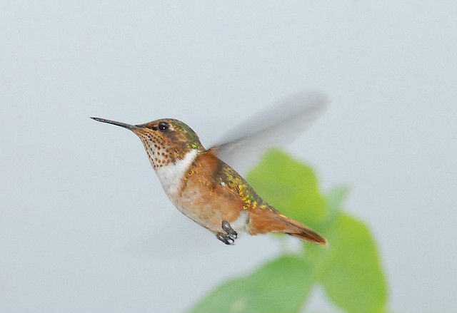 Photo colibri scintillant femelle en vol