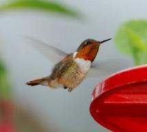 L'oiseau Colibri Scintillant du Costa Rica