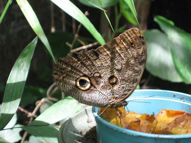 Papillon dans le musée National du Costa Rica