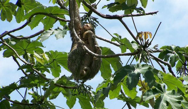 Photo Paresseux dans un arbre