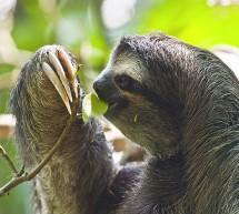 La Paresseux à Gorge Brune du Costa Rica