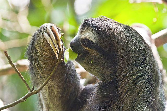 Paresseux gorge brune Costa Rica