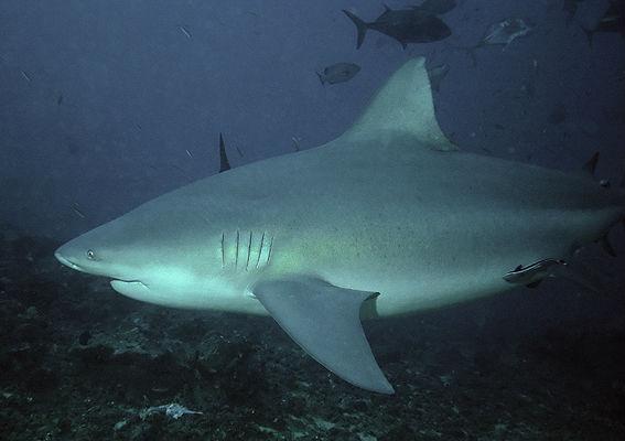 Photo du Carcharhinus Leucas