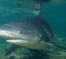 Le Requin Bouledogue du Costa Rica