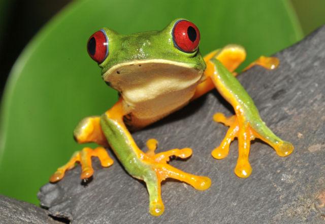 Grenouille aux Yeux Rouges du Costa Rica