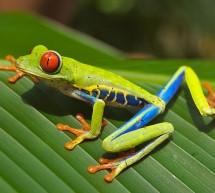 La Grenouille aux Yeux Rouges du Costa Rica