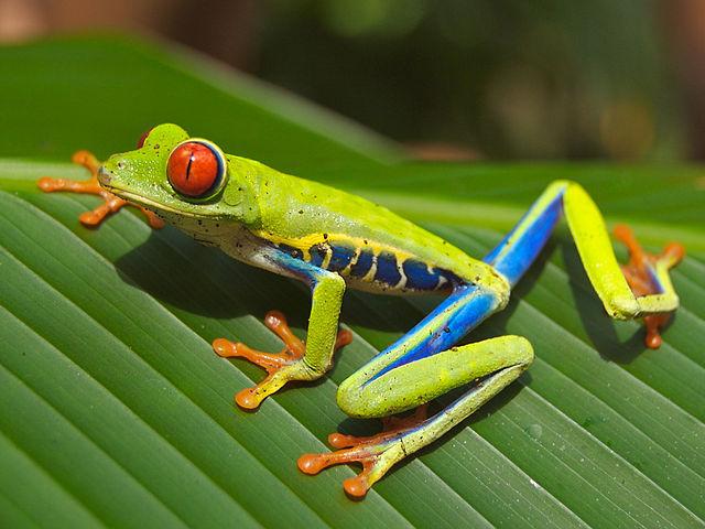 Photo d'une grenouille aux yeux rouges
