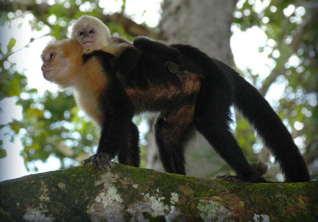 image d'un singe capucin femelle et son bébé