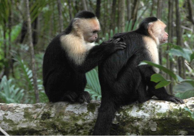 photo de singes capucins à tête blanche