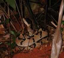 Bushmaster, la Vipère à tête noire du Costa Rica