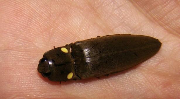 Le Tucu-tucu ou Tuco, insecte mystérieux aux Yeux Verts Fluo
